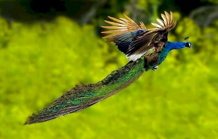 This video of a peacock flying at the Ranthambore National Park is crazy viral