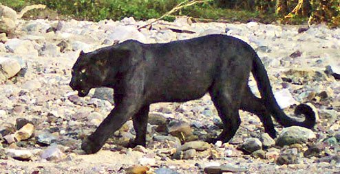 Video of black panther sitting on tree goes viral