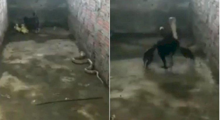 Mother hen fights fierce battle with cobra to save her chicks.