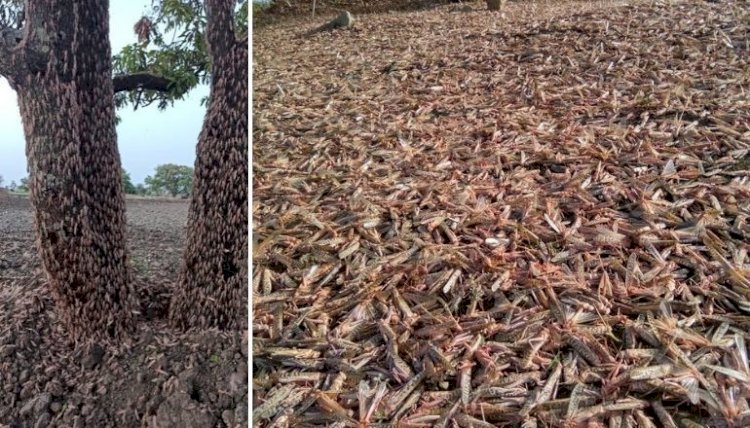 Locusts attack threatens summer crop in India, farmers across several states fear massive losses