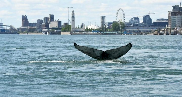 Young humpback whale spotted swimming in Montreal river. It's a rare sight