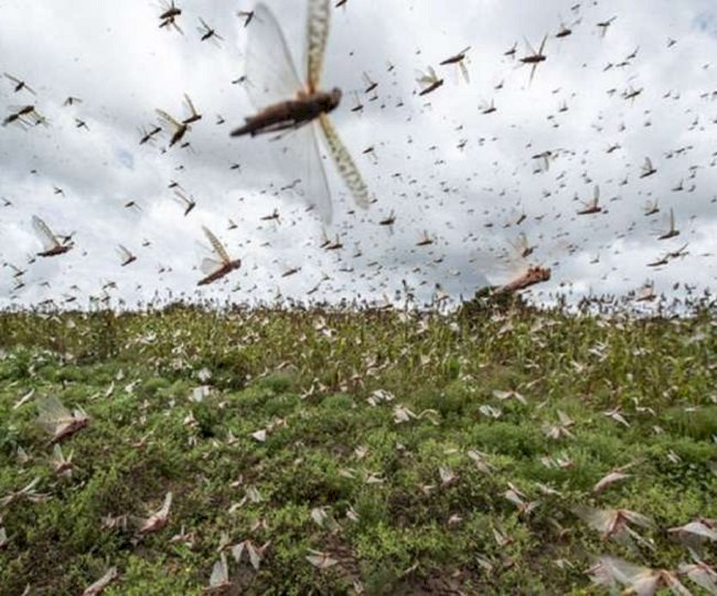 India, Pakistan join forces to fight locust menace: Report