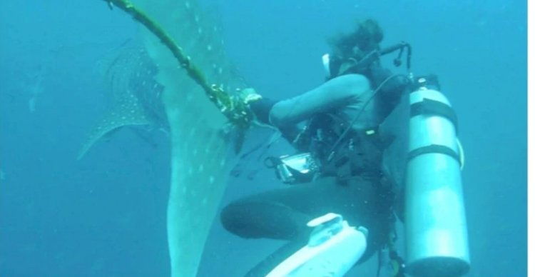 Thai divers try to free distressed whale shark caught in rope