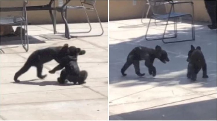 Two bear cubs play with each other at national park in Texas. Viral video has over 2 million views