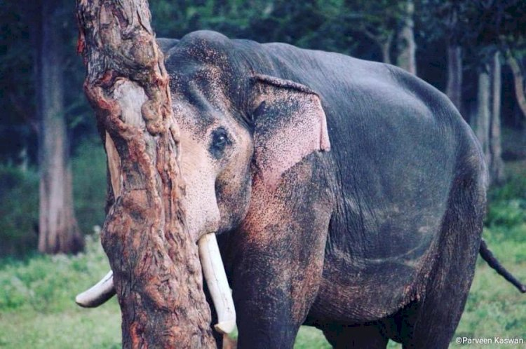 Viral pic shows elephant's failed attempt to hide behind tree.